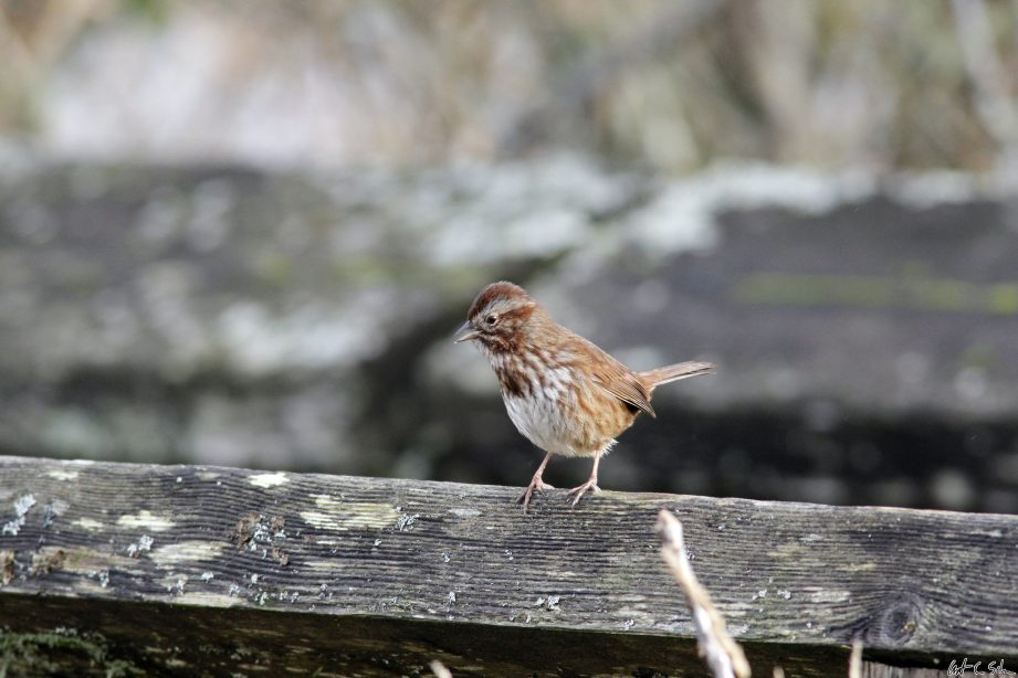 Song Sparrow Chirp