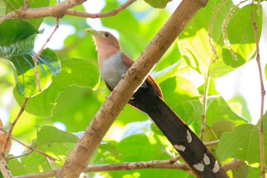 Squirrel Cuckoo Bird